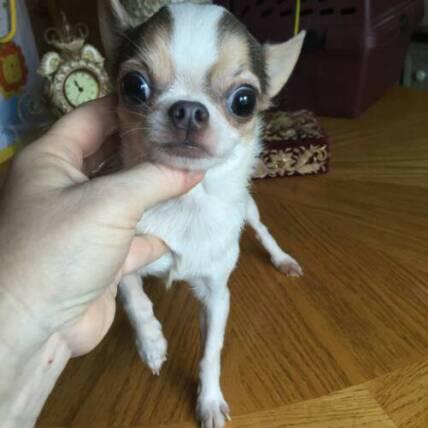 Teacup Chihuahuas Puppies For Sale Applehead Chihuahua Breeder Ca